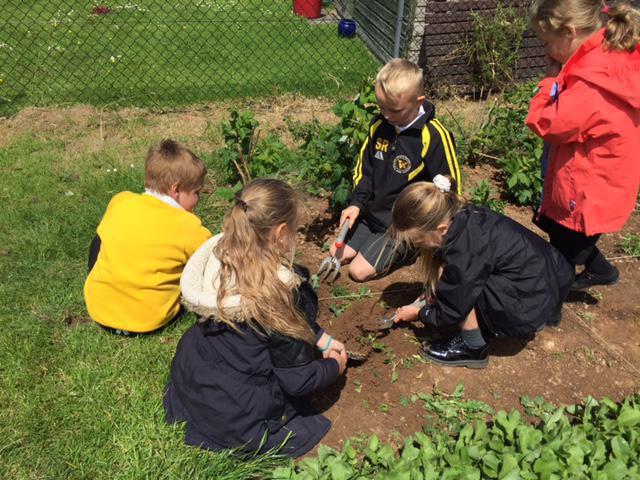 Y3 pupils weeding their plot.
