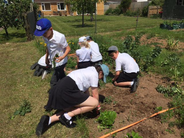 Y6 hard at work digging out the weeds.