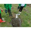 Planting a pear tree