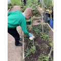 Feeding tomato plants with compost tea.