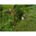 May 2021, most of the blossoms have been pollinated and are now starting to form fruit. .