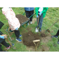 Preparing a planting hole for a pear tree