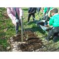Mulching apple trees