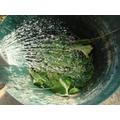 Preparing organic comfrey fertiliser.