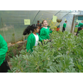 Look at how tall the broad beans have grown!