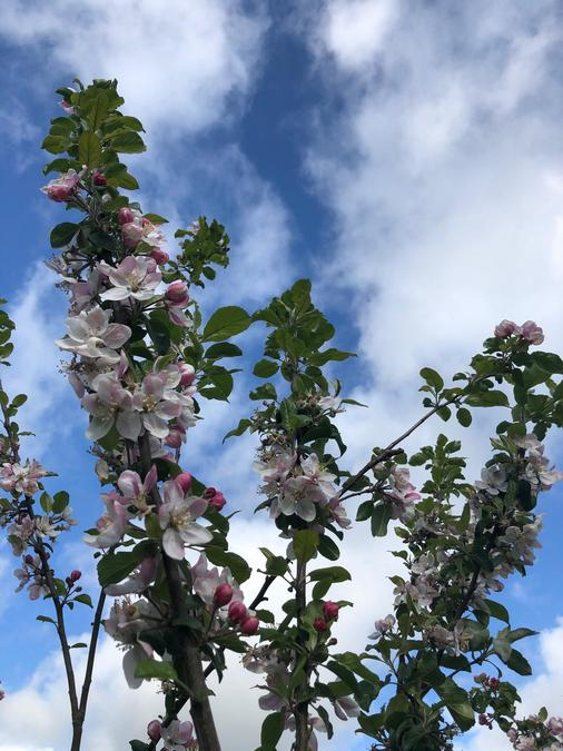 Enjoying the beautiful apple blossom on the school trees