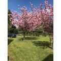 Spring Cherry Blossom.