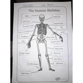 Lee's superb science labelling the bones in the body!
