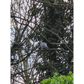 Miss F- woodpigeon