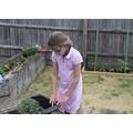 Jasmine planting peas