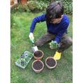 Oscar planting