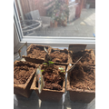 Lily's seedlings