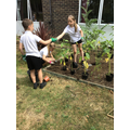 Planting sunflowers that Year 3 started growing