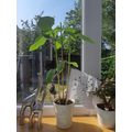 Bethany's re-potted sunflower.