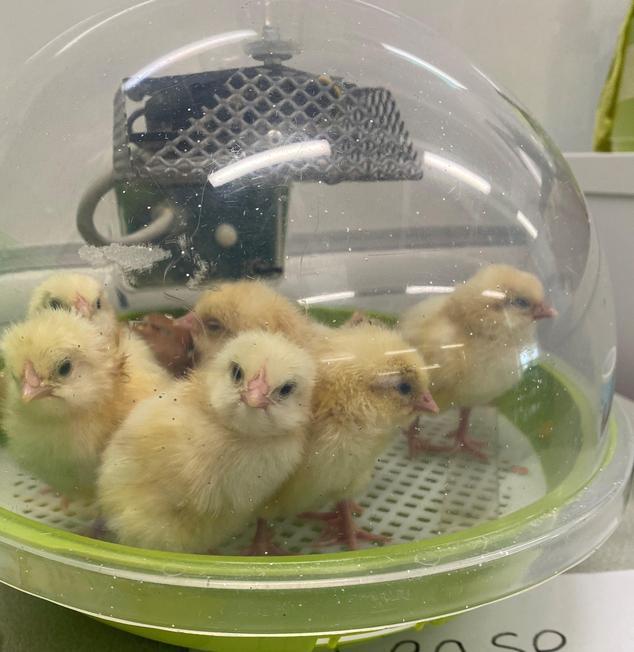 Our Class Chicks Summer 2021