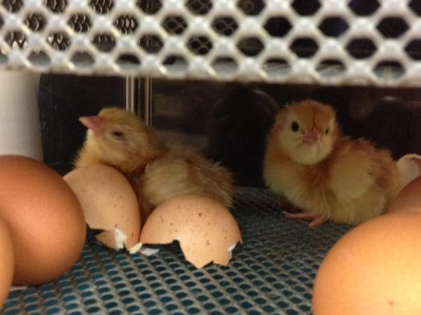 The chicks are hatching!