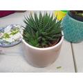 Here is a beautiful Aloe Vera plant!