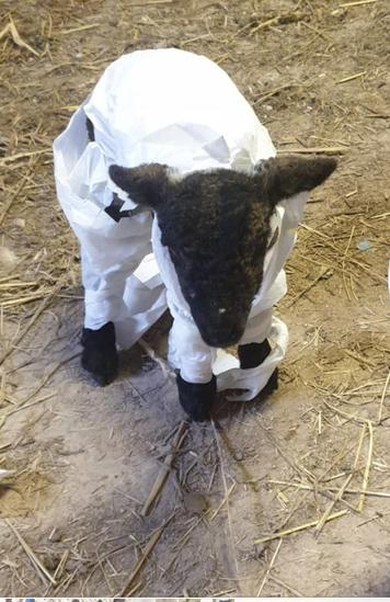 This lamb patiently became a Mummy!