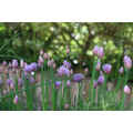 1st place - KP (Yr 6) - flowering lavender