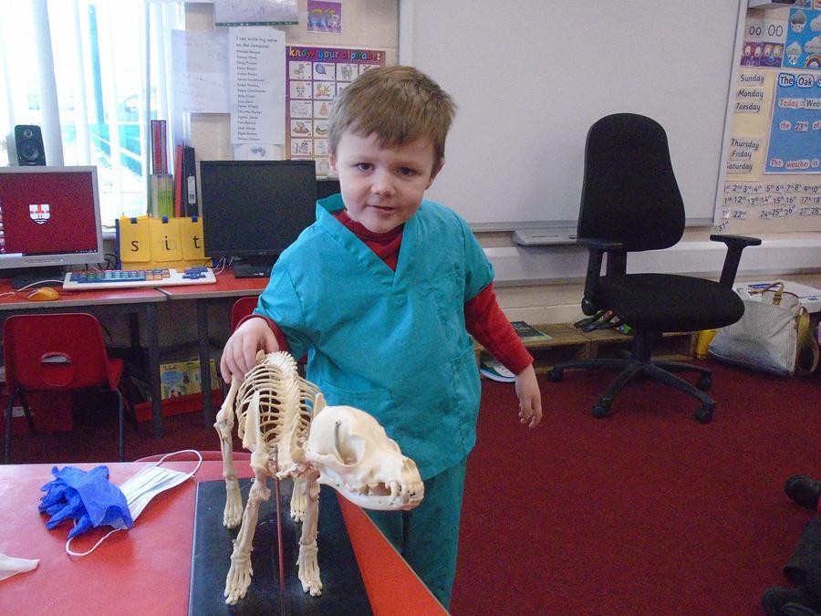 A dog skeleton