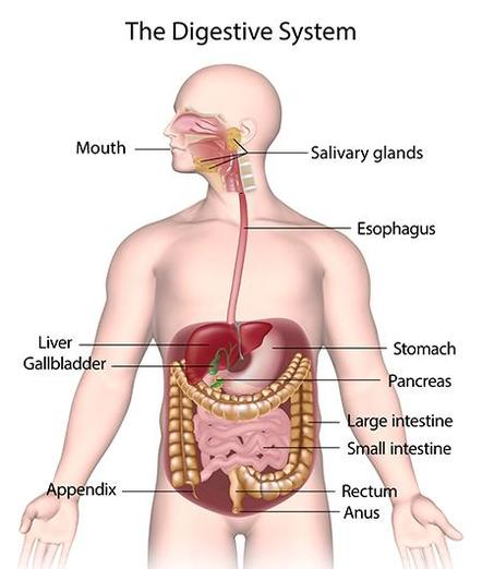 The Digestive System and Teeth