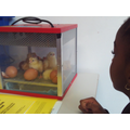 We were lucky enough to watch chicks hatch in the classroom!