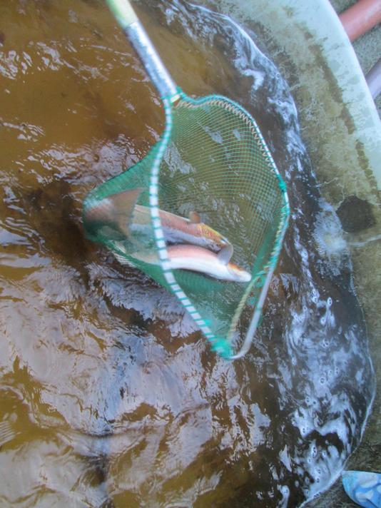 Catching salmon