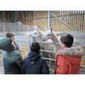 We weren't sure about the llamas...