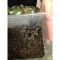 Tallulah the tarantula