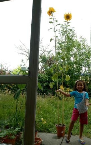 Look how tall the sunflowers are!