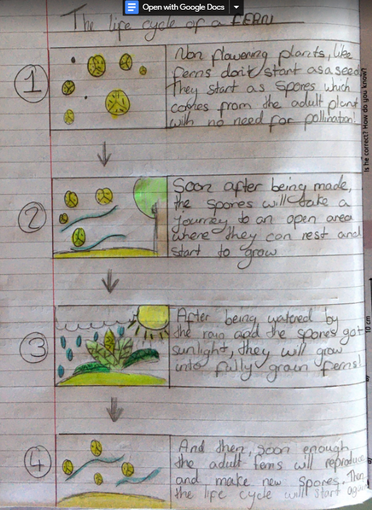 Zoe's Life Cycle of a Fern