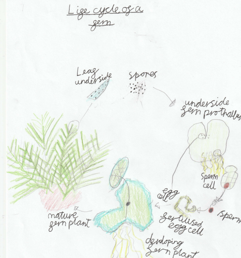 Ben's Life Cycle of a Fern