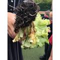 Digging up our lettuce