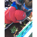 Planting the lettuce and spinach