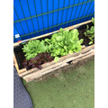 Look at our lettuce now!