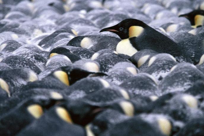 Penguins in a huddle