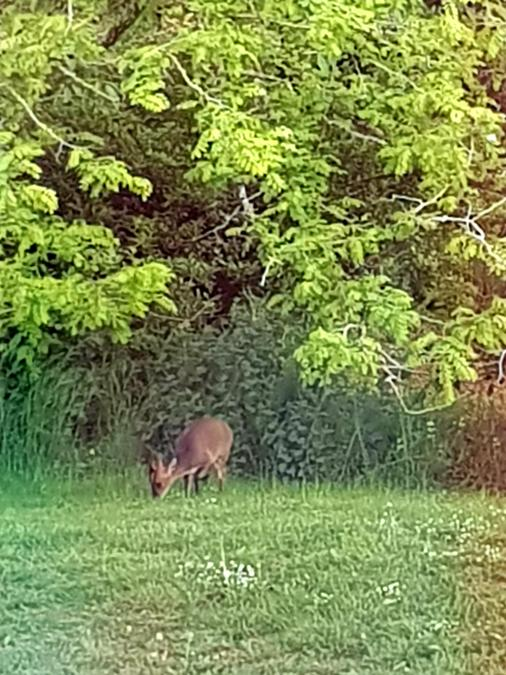 The Deer that came for tea at Catherine's!
