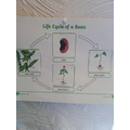 Ezra completed his bean life cycle sheet