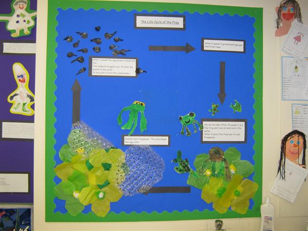 Life cycle of the frog - Yr 2