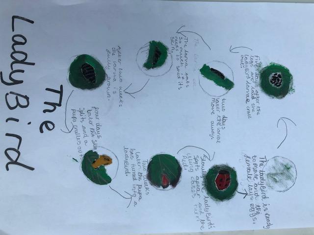 Eliza's lady bird life cycle.jpg
