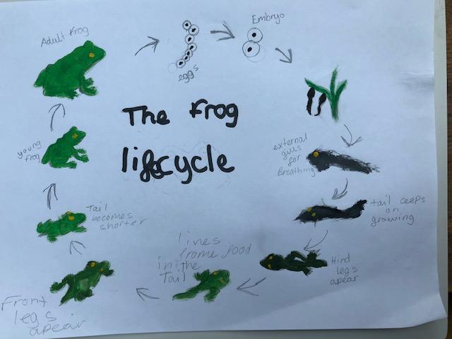 Eliza's frog life cycle.jpg