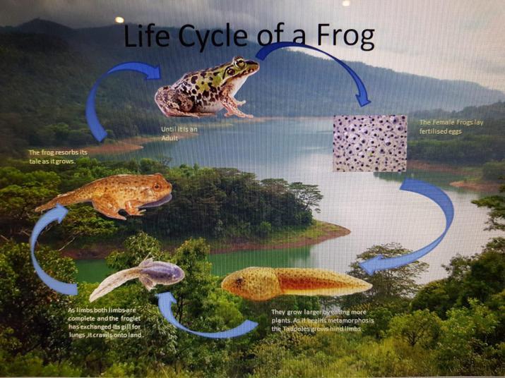 Leon frog life cycle