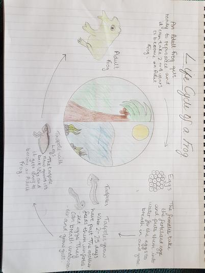 Schanel frog life cycle