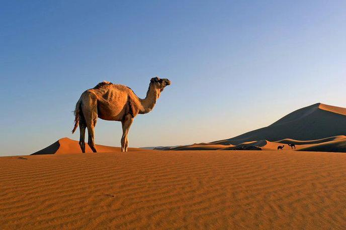 A camel on a sand dune