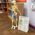 Meet our class skeleton!