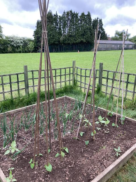 Climbing French beans planted by Y3.