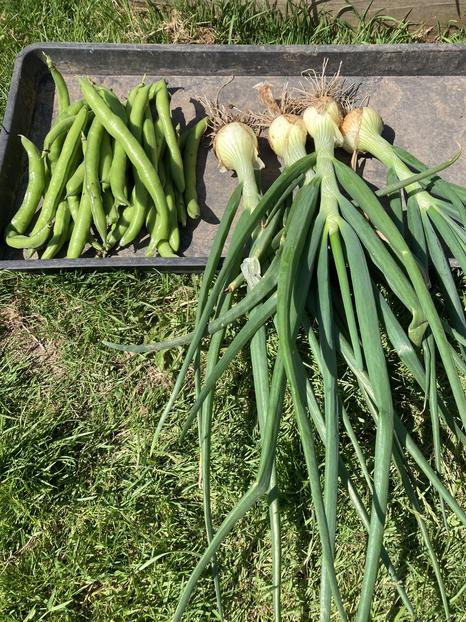 Our first broad beans and onions of the year.