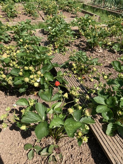 Masses of strawberries on the way.