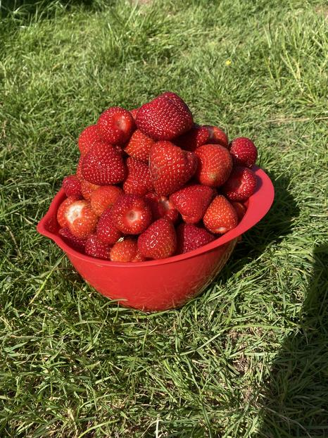 First strawberry harvest.