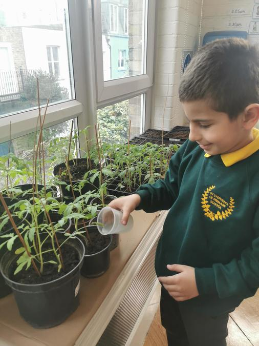 Year 2 are currently growing all sorts of vegetables.